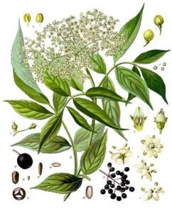 Sambucus_nigra_-_Köhler–s_Medizinal-Pflanzen-127